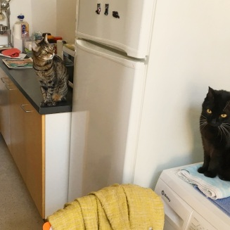 Sonic on the floor, Samantha on the counter and Murli on the washing machine. They all just love to hang out in the kitchen.