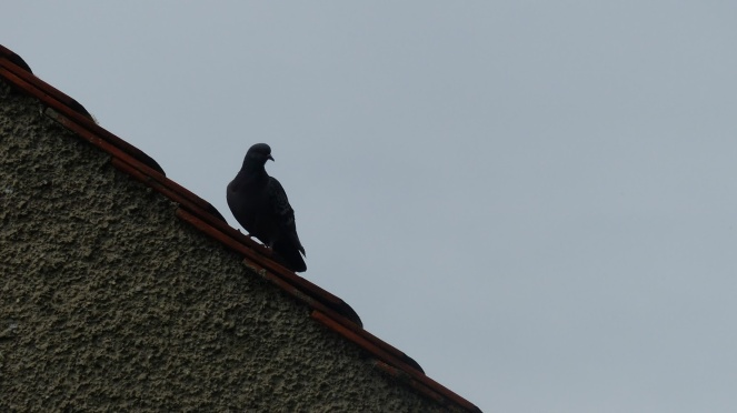 2019 05 22 Pigeon on the roof