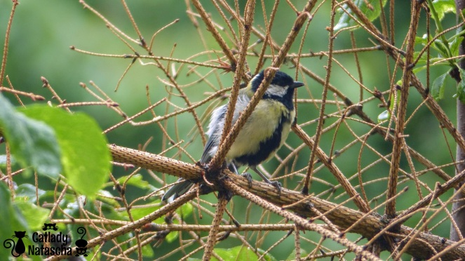 Little Great Tit 001