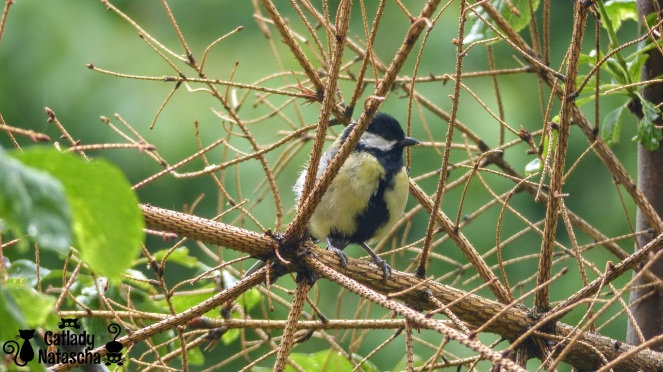 Little Great Tit 002
