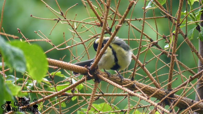 Little Great Tit 003