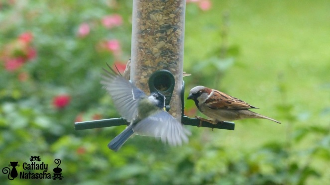 Sparrows at the feeder 002