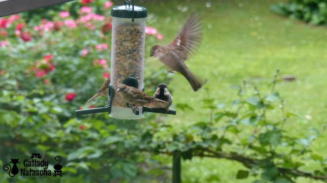 Sparrows at the feeder 003