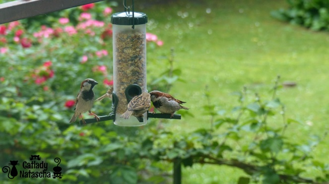 Sparrows at the feeder 004