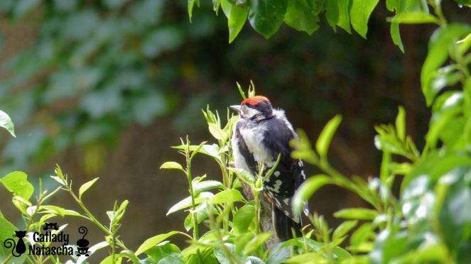 Woodpecker003
