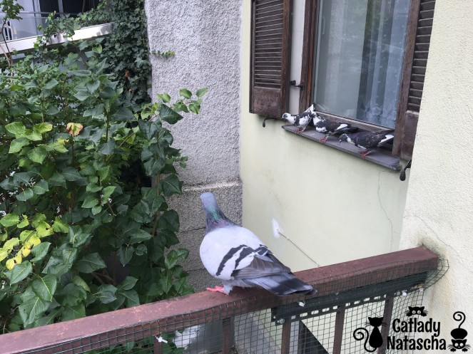 Pigeon Party